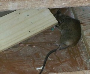 Rat Amp Mice Removal Surrey Mice Control Rat Control