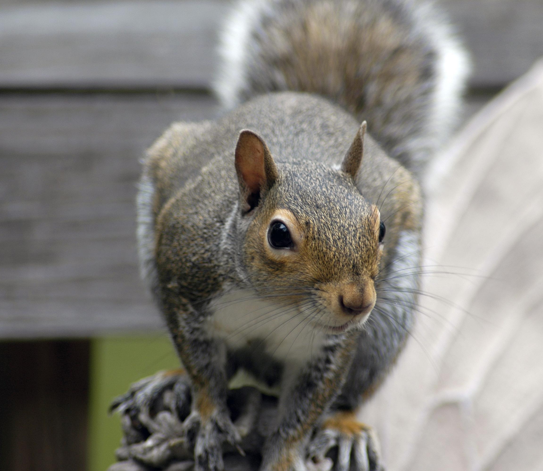 Squirrels In The Attic Surrey Squirrel Removal