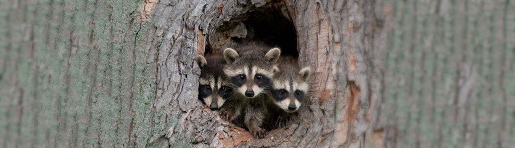 6 Tips For Raccoon Control