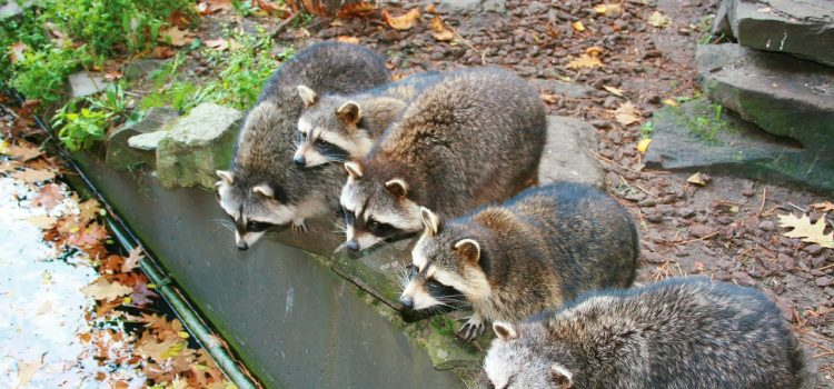 raccoon season