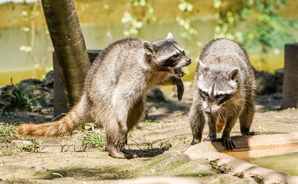 raccoons dangerous