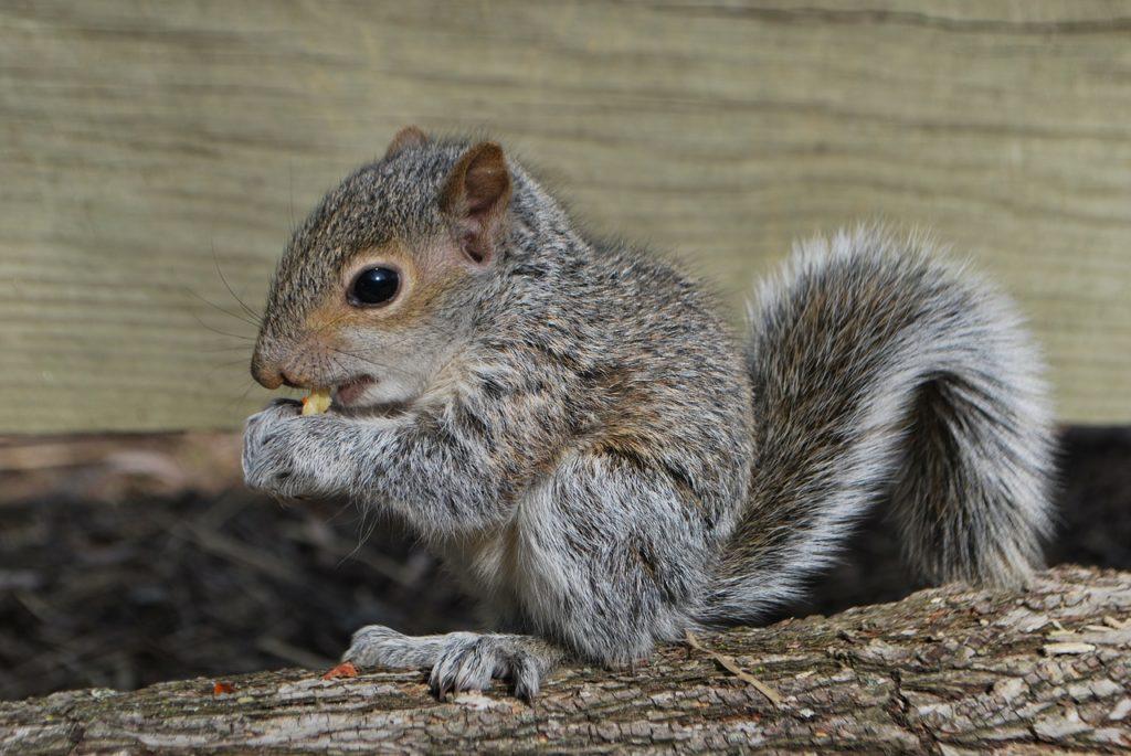 squirrel-season