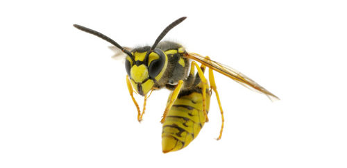 Wasp & Hornet Removal